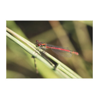 Large Red Damselfly Canvas Print