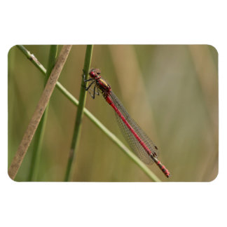 Large Red Damselfly Magnet