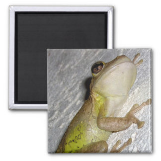 Large tree frog clinging to stucco wall photo magnets