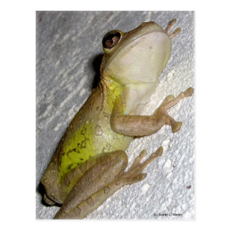 Large tree frog clinging to stucco wall photo post card