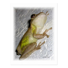 Large tree frog clinging to stucco wall photo postcard