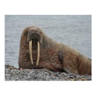 Large Walrus on Rocks Postcard