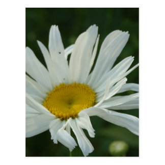 Large White and yellow Daisy Aster flowers Postcard