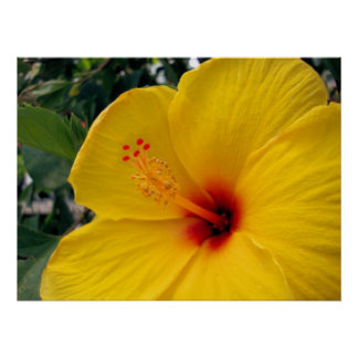 Large Yellow Hibiscus Poster