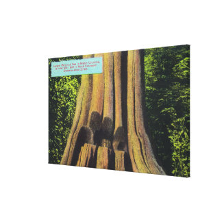 Largest Recorded Tree in BC 1896 Cedar Tree Canvas Print