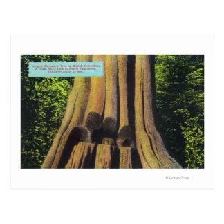 Largest Recorded Tree in BC 1896 Cedar Tree Postcard