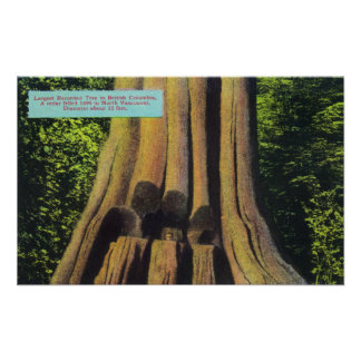 Largest Recorded Tree in BC 1896 Cedar Tree Poster