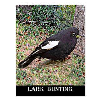 Lark Bunting (Colorado) Postcard