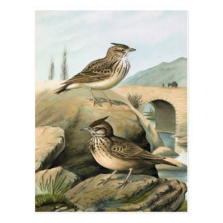 Larks Vintage Bird Illustration Postcard