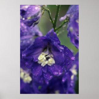 Larkspur, (Delphinium Hybride) flowers Poster