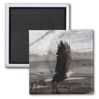 Las alas ampliaron Eagle calvo Imán Cuadrado