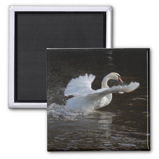 Las alas Outstretched el cisne Imán Para Frigorifico