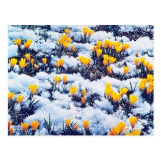Las azafranes amarillas en la nieve, colina del pa tarjetas postales