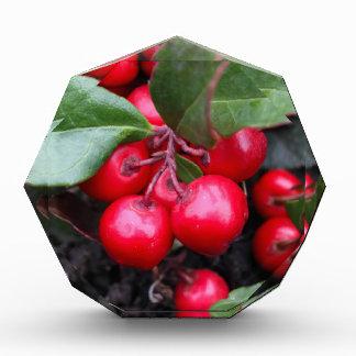 Las bayas rojas en un teaberry forran el procumbe