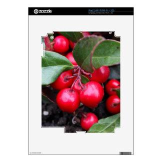 Las bayas rojas en un teaberry forran el procumbe calcomanía para el iPad 2