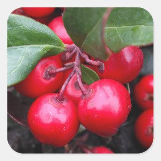 Las bayas rojas en un teaberry forran el procumbe pegatina cuadrada