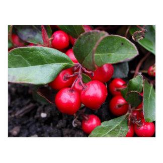 Las bayas rojas en un teaberry forran el procumbe tarjetas postales