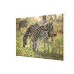 Las cebras de Burchell, burchelli del Equus Impresiones De Lienzo