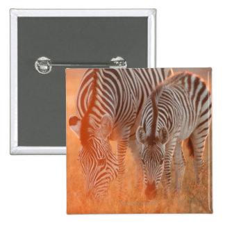 Las cebras de Burchell, burchelli del Equus pastan Pins