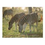 Las cebras de Burchell, burchelli del Equus Postales