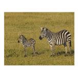Las cebras de Burchell de la madre y del bebé, Equ Postales