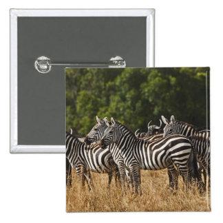 Las cebras de Burchell (Equus Burchellii) como se  Pins
