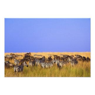 Las cebras y el Wildebeest de Burchell en alto Foto