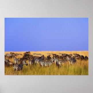 Las cebras y el Wildebeest de Burchell en alto Póster