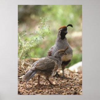 Las codornices de Gambel con el polluelo Póster