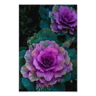 Las coles púrpuras, crecen como las flores fotografía