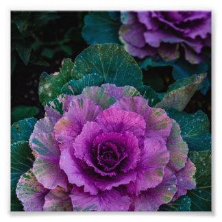 Las coles púrpuras, crecen como las flores cojinete