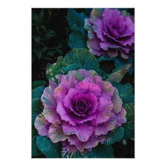 Las coles púrpuras, crecen como las flores fotografías