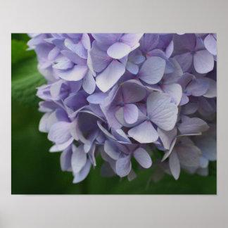 Las flores azules del Hydrangea se cierran para ar Poster
