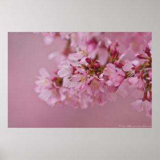 Las flores de cerezo de Sakura palidecen - Póster
