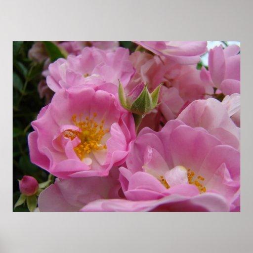 Las flores subiós del rosa de ROSAS 1 arte imprime Póster
