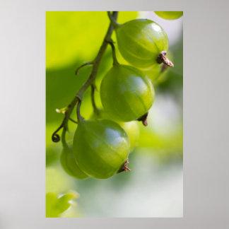 Las grosellas espinosas verdes CC0208 despiertan Póster