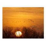Las grúas de Sandhill siluetearon el sol naciente  Postal