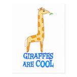 Las jirafas son FRESCAS Tarjetas Postales