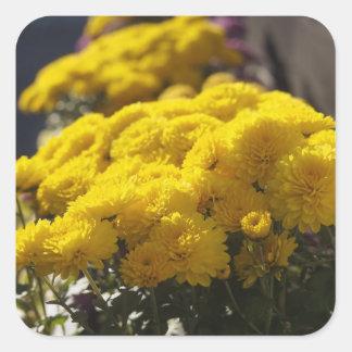 Las maravillas amarillas toman el sol en luz del pegatina cuadrada