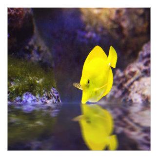 Las miradas amarillas de los pescados del cirujano fotografía