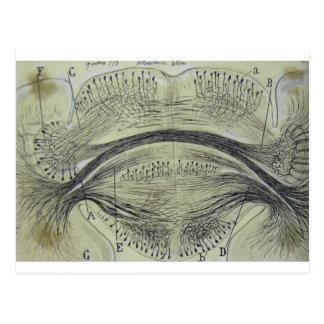 Las neuronas espinales de Cajal - 5 Postal