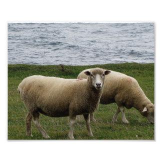 Las ovejas largas de las lanas de Devon en Devon d Cojinete