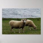Las ovejas largas de las lanas de Devon en Devon d Impresiones