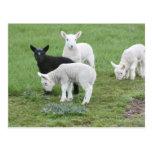 Las ovejas negras postal