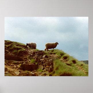 Las ovejas pastan el poster máximo de Reino Unido