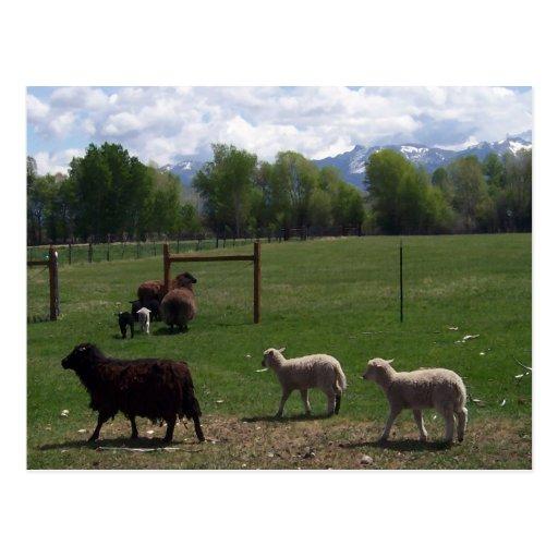 Las ovejas siguen al líder tarjetas postales