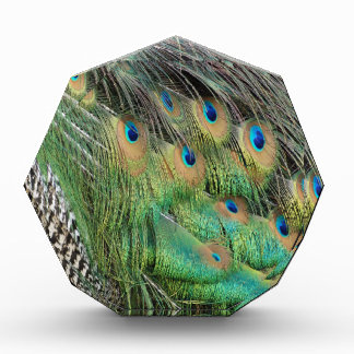 Las plumas del pavo real broncean colores verdes y