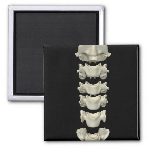 Las vértebras cervicales 7 iman de nevera