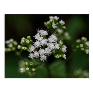 Late-flowering Boneset White Wildflower Postcard