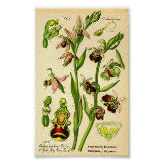 Late Spider Orchid (Ophrys fuciflora) Print